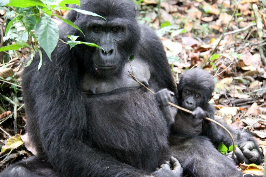 Mountain Gorillas. See us see you in Bwindi National Park