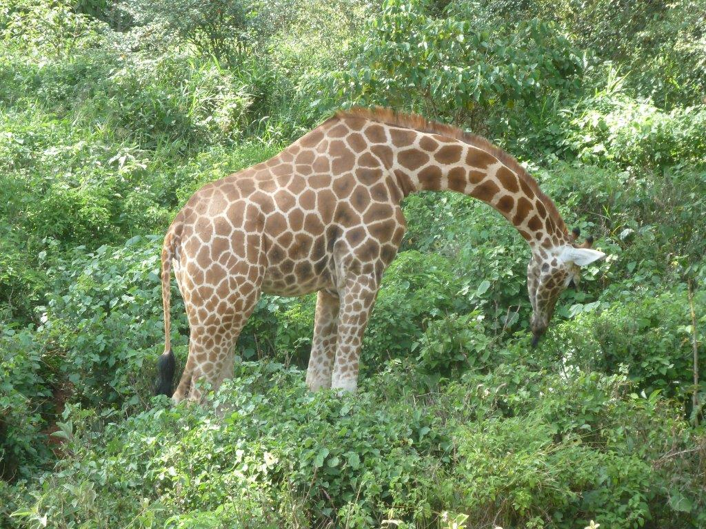 Giraffe on Hike Mount Kenya