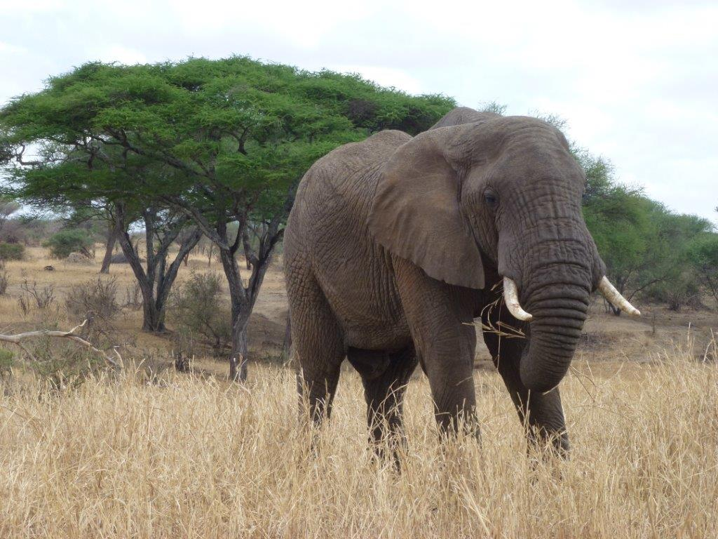 Jumbos – most common in the Tarangire National Park