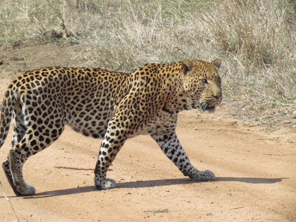 Leopard – a rare sight in the Serengeti National Park