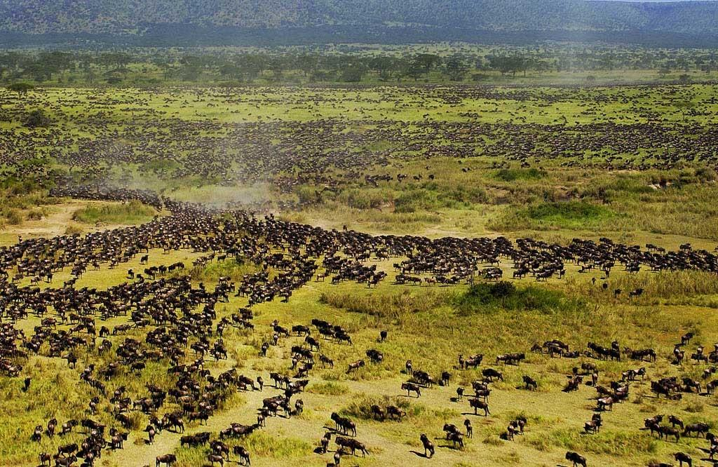 Great Wildebeests Migration